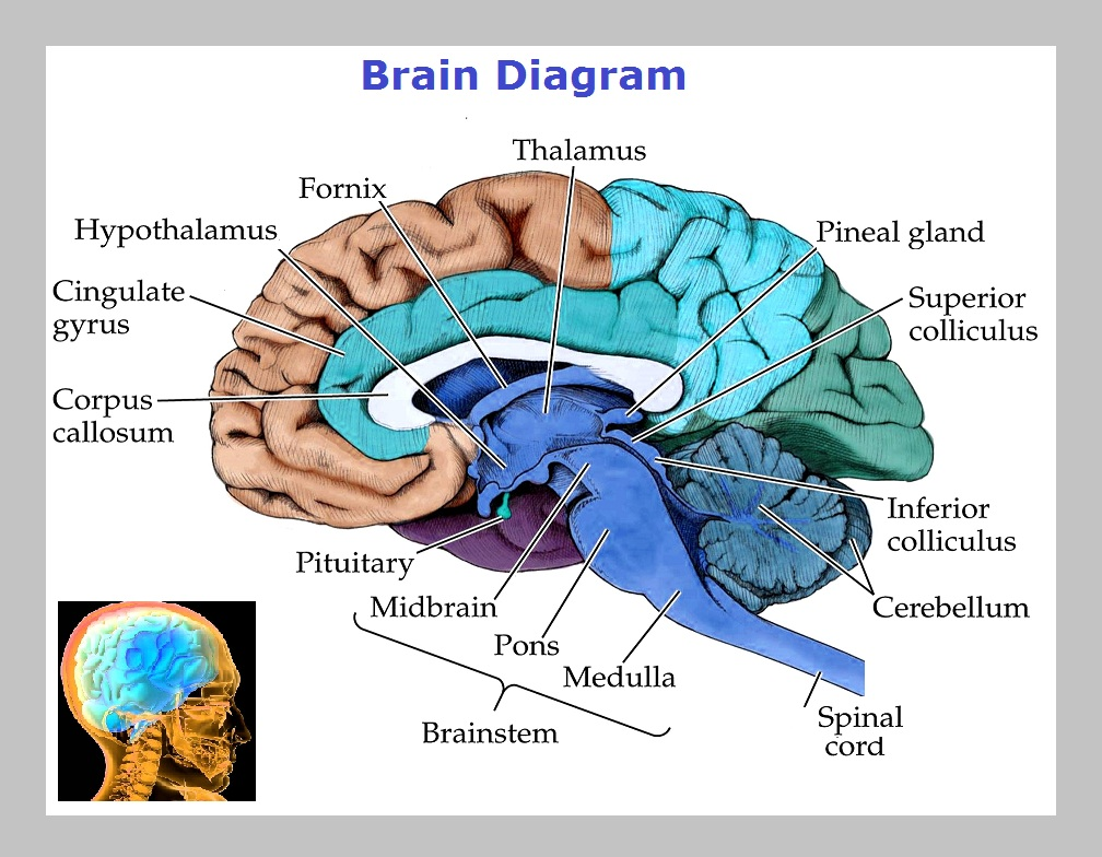 Brain diagram graph diagram