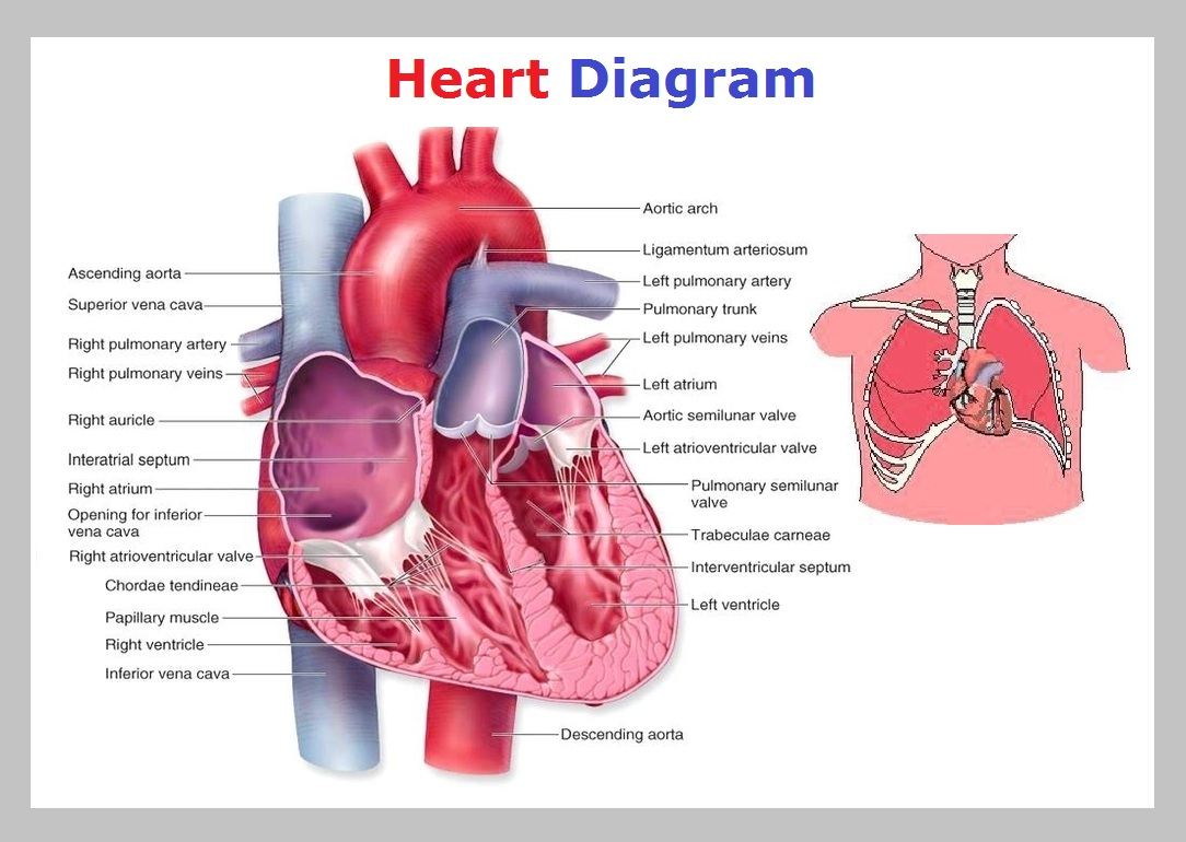 Heart chart fashionellaconstance heart chart ccuart Images