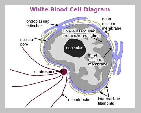 white blood cell diagram graph diagram rh graphdiagram com white blood cell diagram ks3 white fat cell diagram
