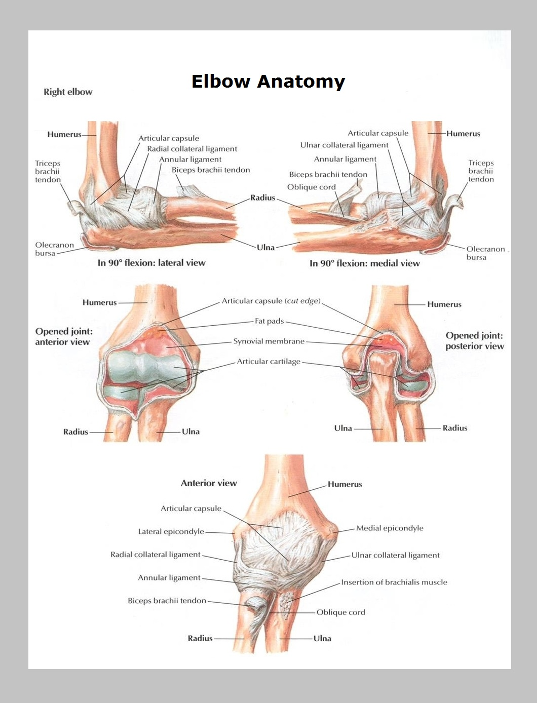 Elbow Anatomy Graph Diagram