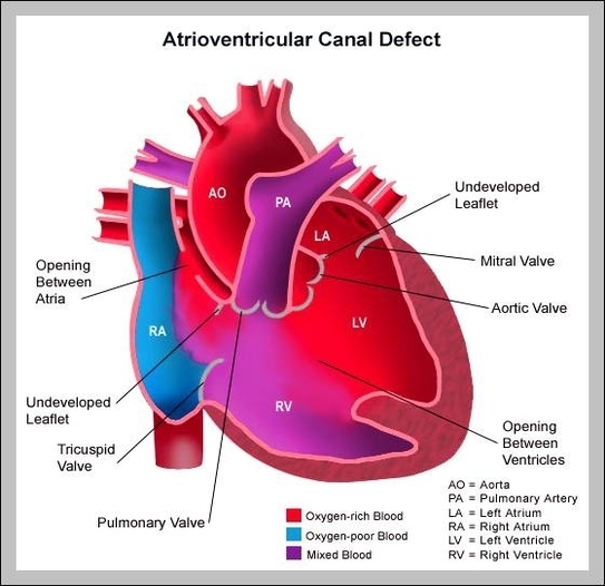 Heart diagram graph diagram all parts of the heart diagram chart diagrams and charts with labels this diagram depicts all parts of the heart ccuart Image collections