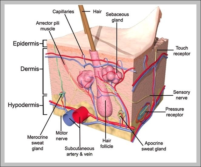 anatomy and physiology integumentary system | Graph Diagram