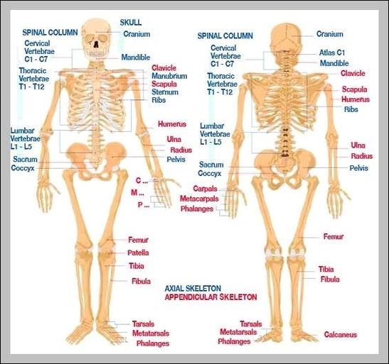 anatomy and physiology skeletal system | Graph Diagram