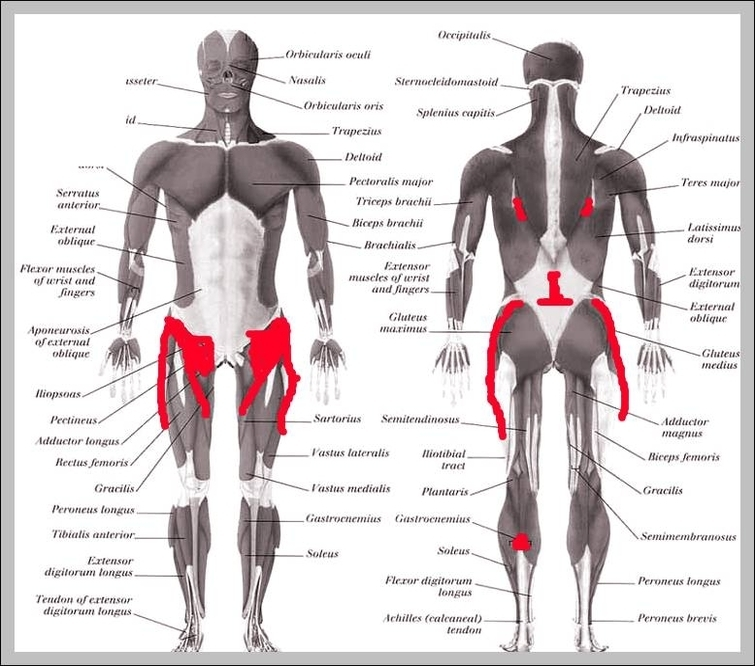 Anatomy Hip Muscles Graph Diagram