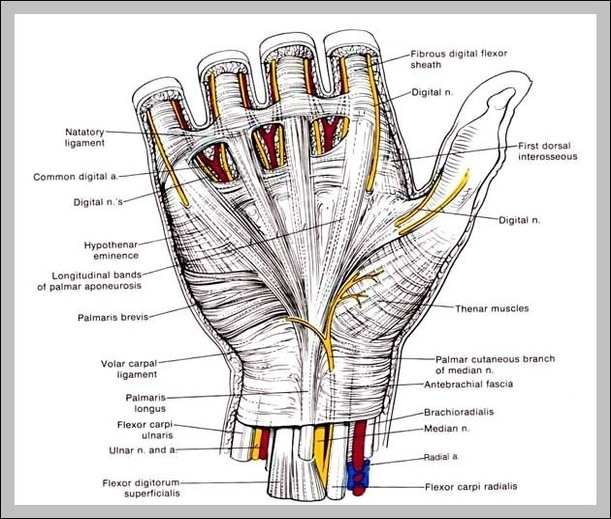 Hand Anatomy Graph Diagram
