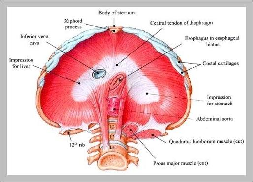 anatomy of diaphragm graph diagram Medical Diaphragm anatomy of diaphragm