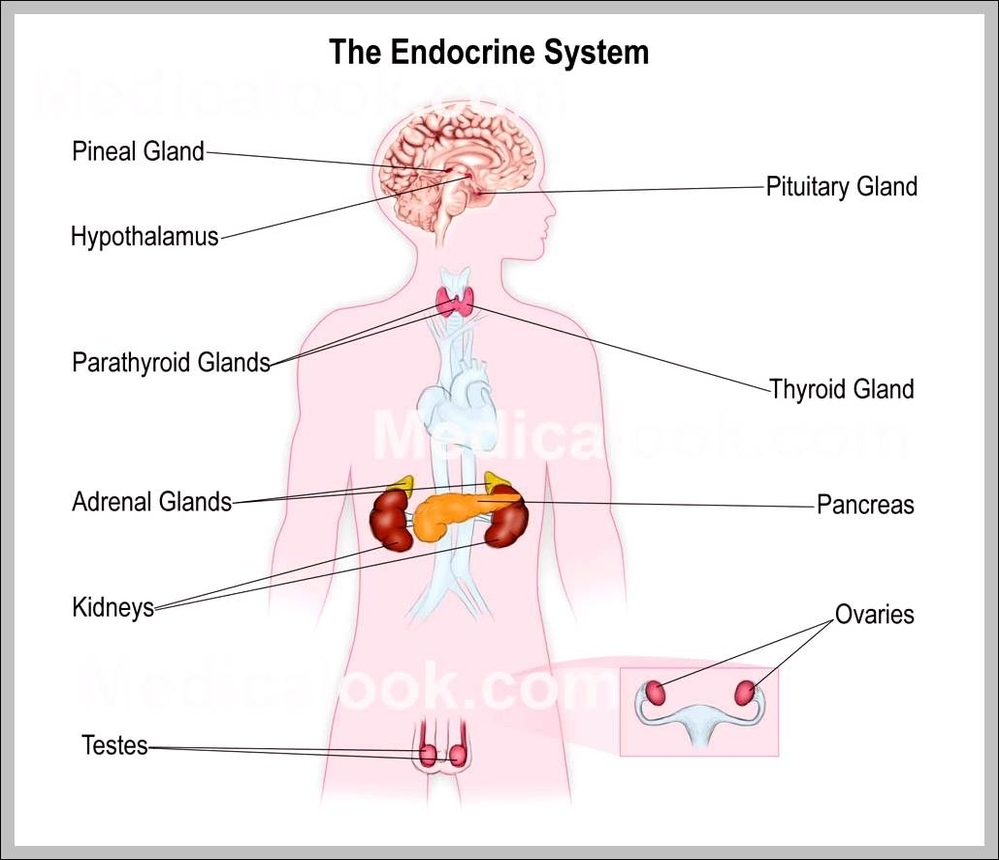 Endocrine system diagram graph diagram anatomy of endocrine system diagram chart diagrams and charts with labels this diagram depicts anatomy of endocrine system ccuart Choice Image