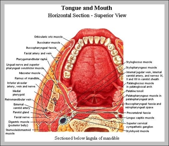 Anatomy of neck and throat graph diagram anatomy of neck and throat ccuart Gallery