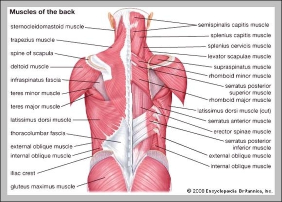 Anatomy Of The Lower Back Muscles Graph Diagram