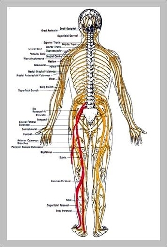 anatomy sciatic nerve | Graph Diagram