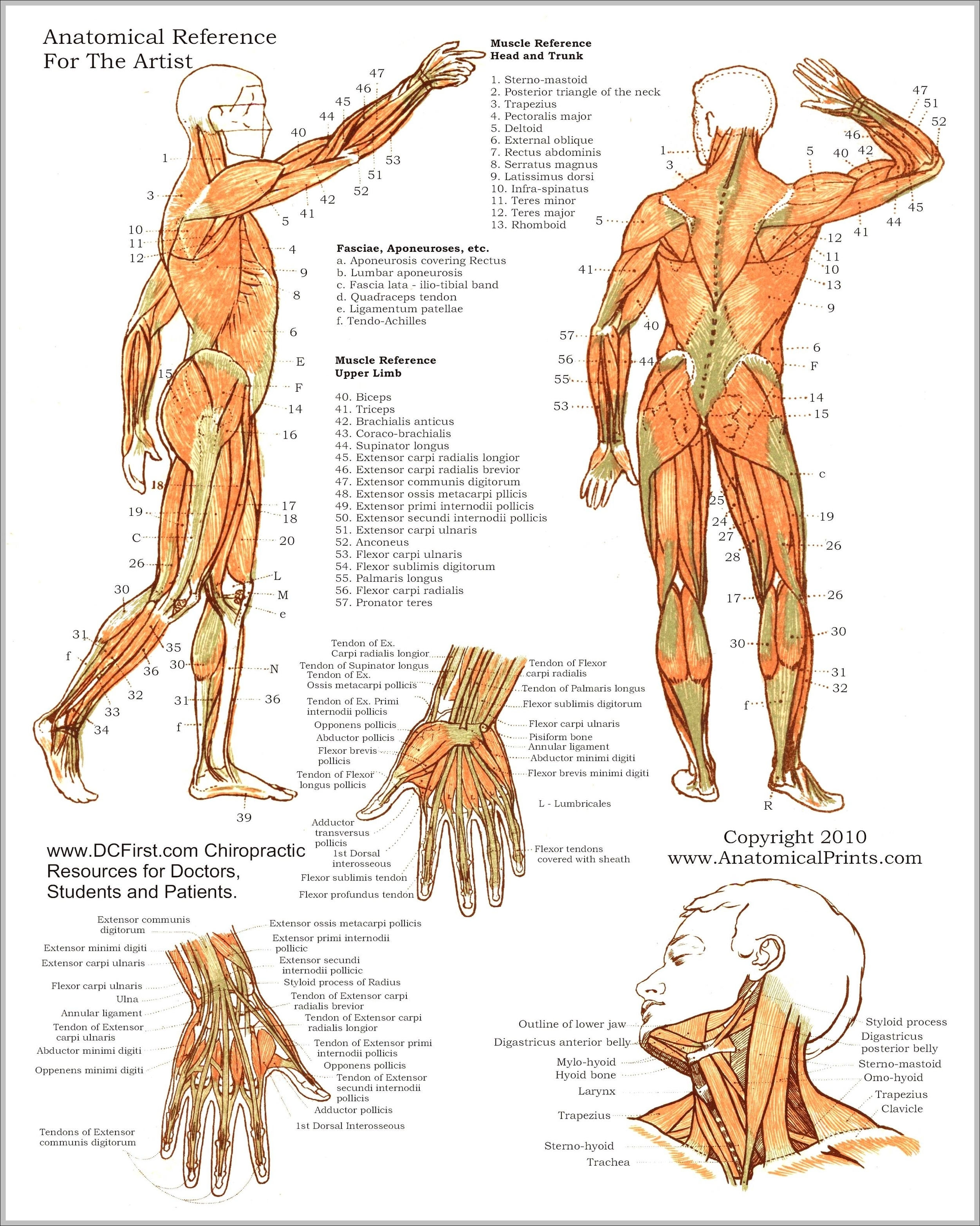 anatomy study guide muscles | Graph Diagram