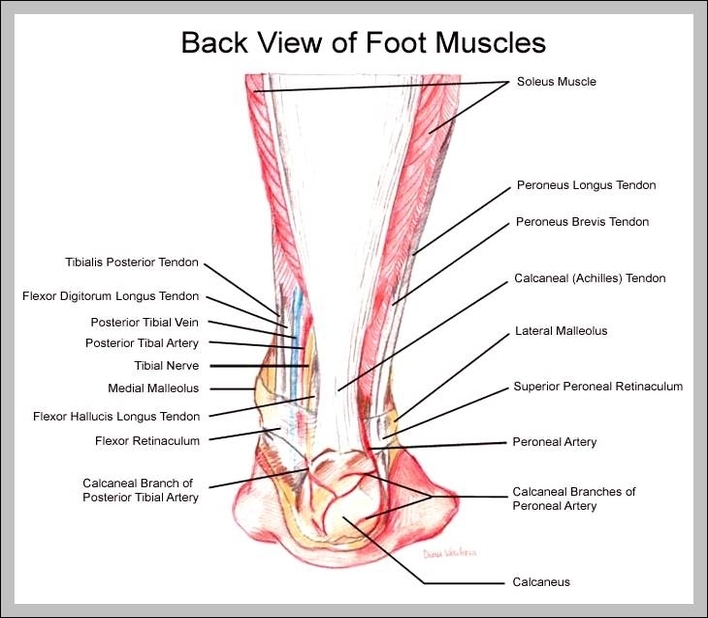 Foot And Ankle Muscles Diagram 95