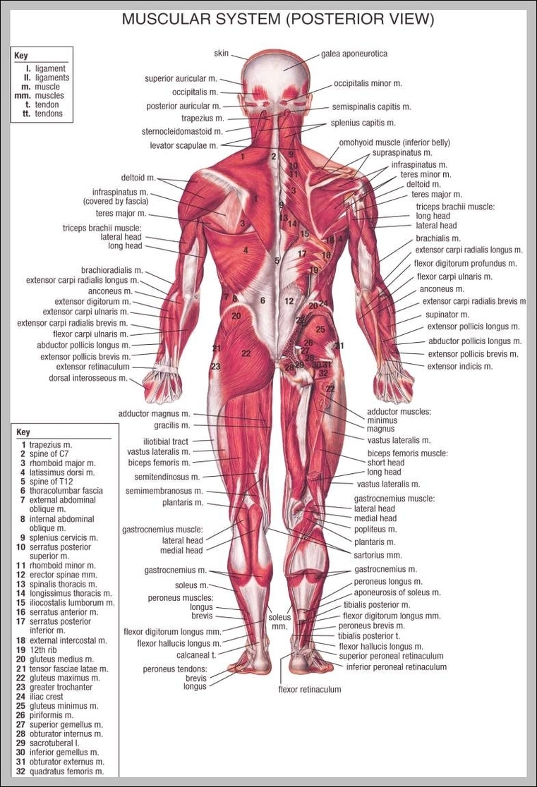 Back muscles anatomy chart graph diagram