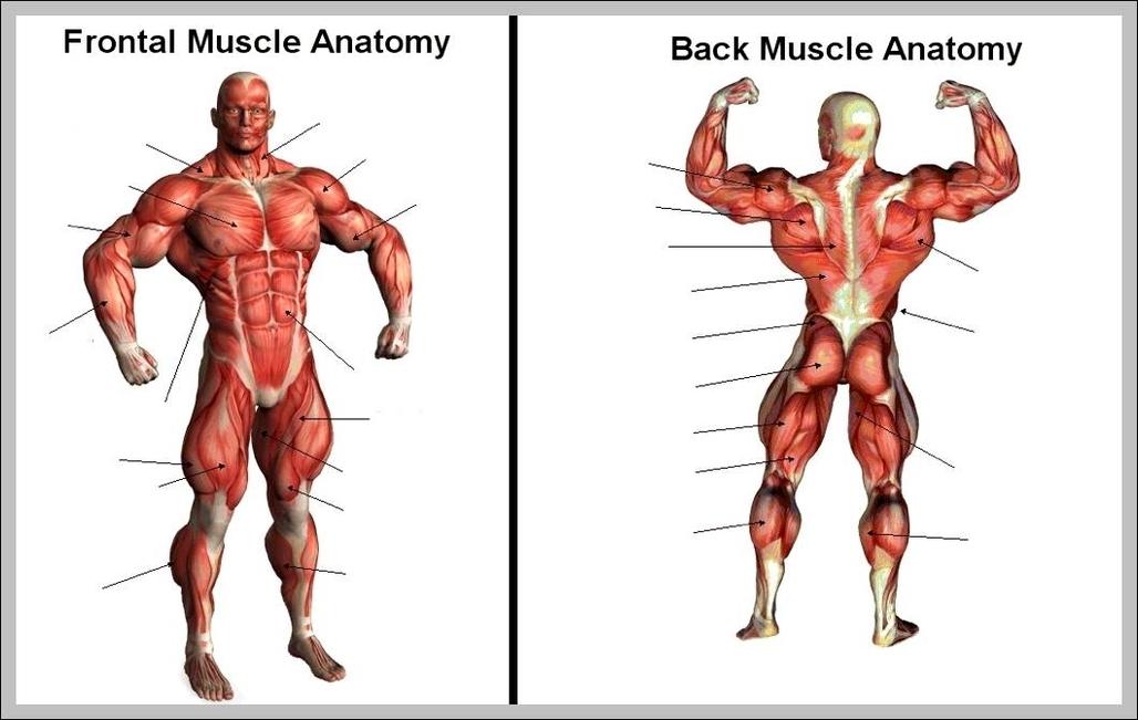 blank muscle diagram | Graph Diagram