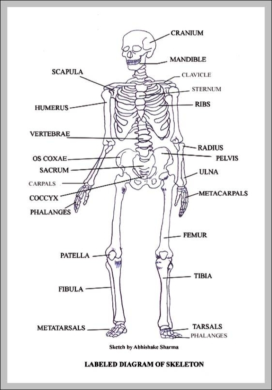 photo relating to Printable Skeletal System referred to as blank skeletal process Graph Diagram