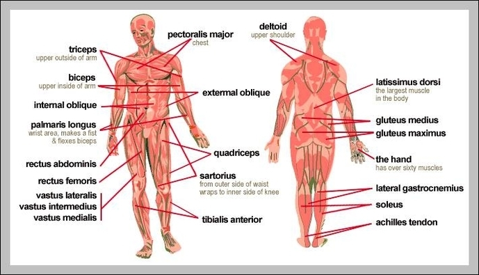 Body Muscles Diagram Labeled Graph Diagram