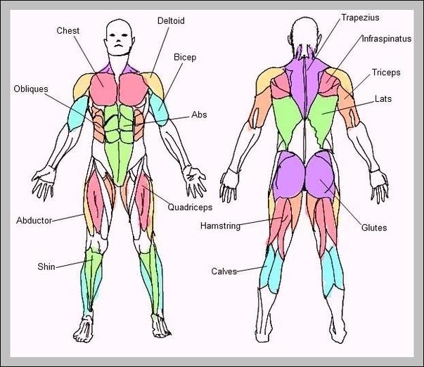 Body Muscles Names Graph Diagram