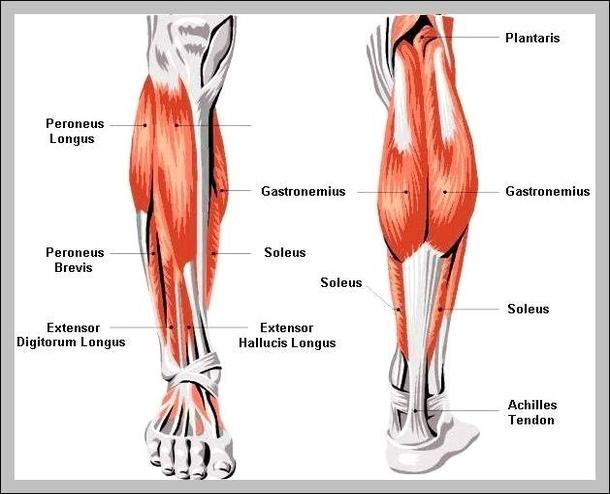 Bones Of Lower Leg Graph Diagram