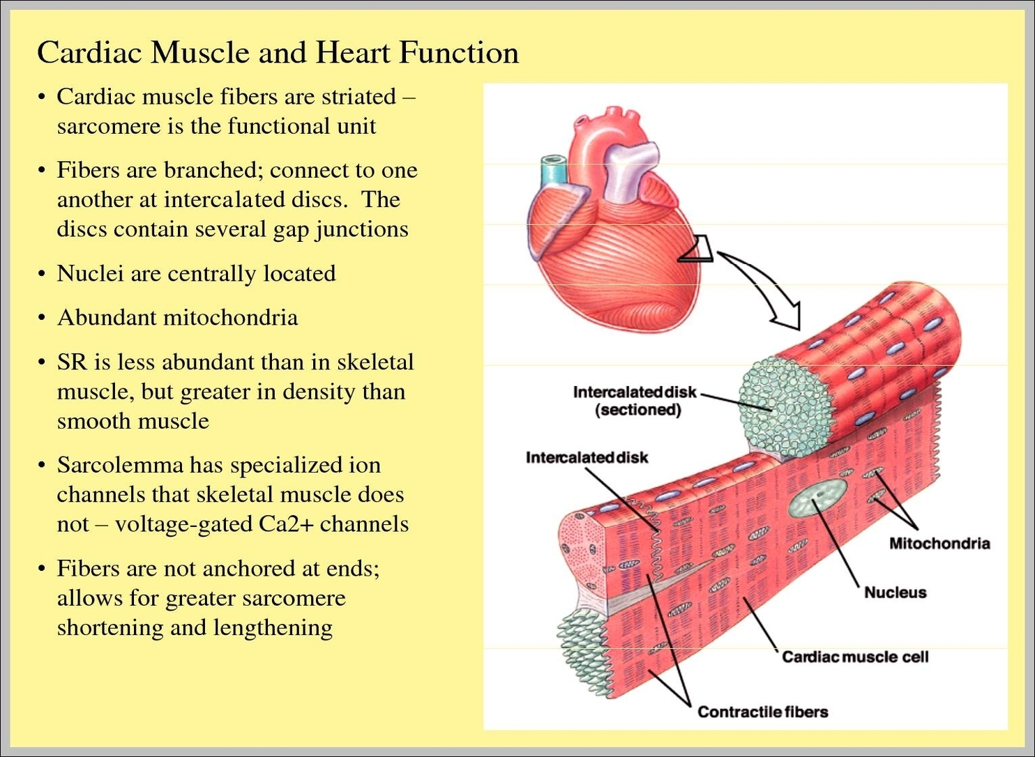 Cardiac Tissue Function Graph Diagram