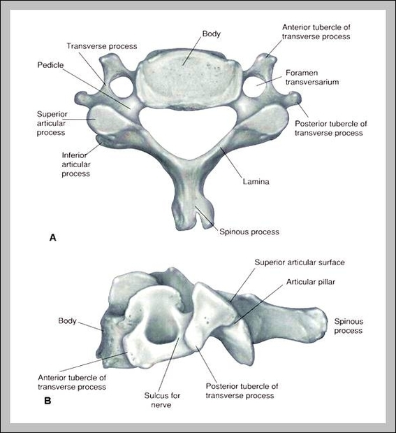 Cervical Bones Diagrams - Block And Schematic Diagrams •