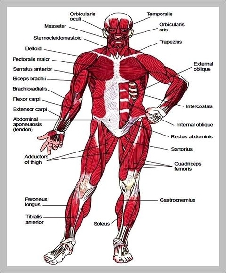 Chart Chest Muscles Diagram Circuit Connection Diagram