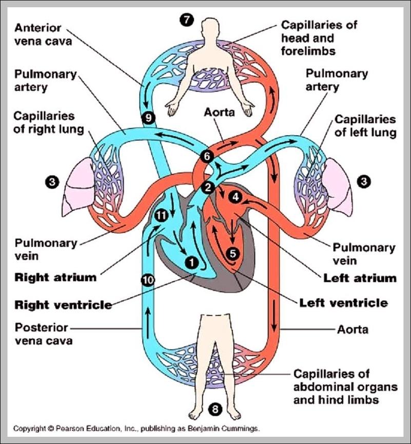 circulatory system function | Graph Diagram