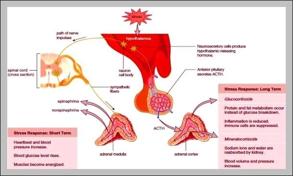 Diagram Of Adrenal Gland Graph Diagram