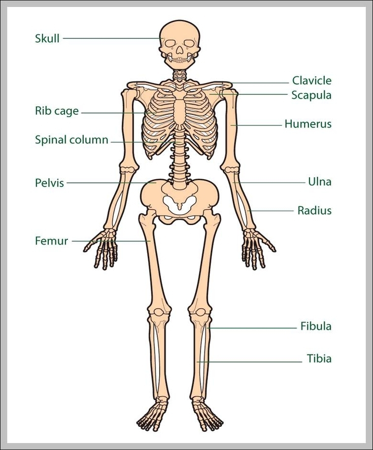 Human Bones Anatomy Graph Diagram