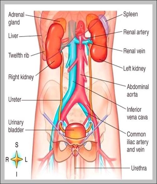 Diagram Of The Urinary System Graph Diagram