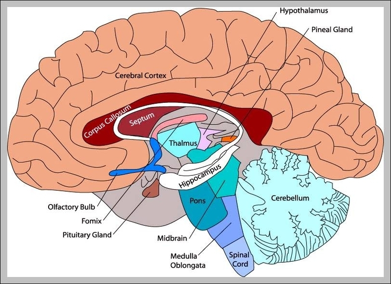 Midbrain Diagram To Label What Are The Parts Of The Midbrain Wire