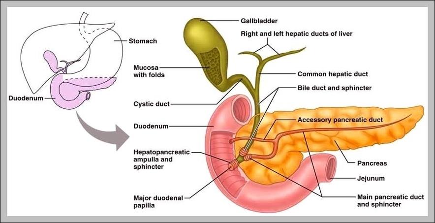 Digestive System Gallbladder Graph Diagram
