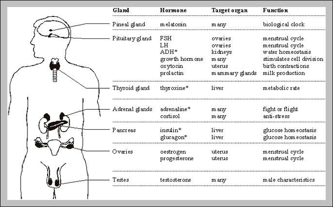 Endocrine Glands Graph Diagram