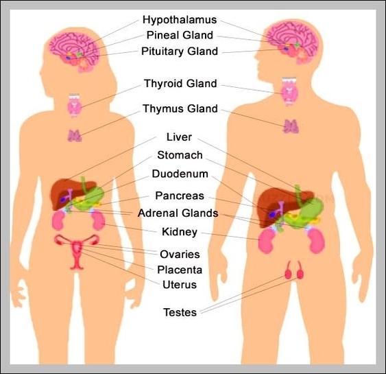 Endocrine System Diagram To Label endocrine system diagram for