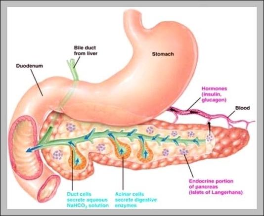 Endocrine System Pancreas Diagram - DIY Enthusiasts Wiring Diagrams •
