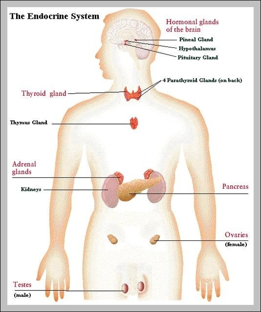 Endocrine system graph diagram endocrine system diagram chart diagrams and charts with labels this diagram depicts endocrine system ccuart Image collections