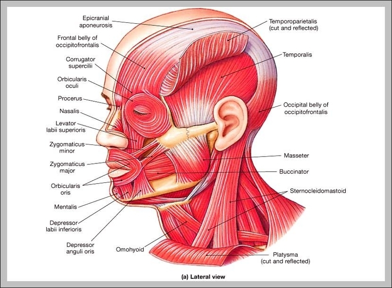 Admin graph diagram page 51 face muscles diagram diagram chart diagrams and charts with labels this diagram depicts face muscles diagram ccuart Gallery