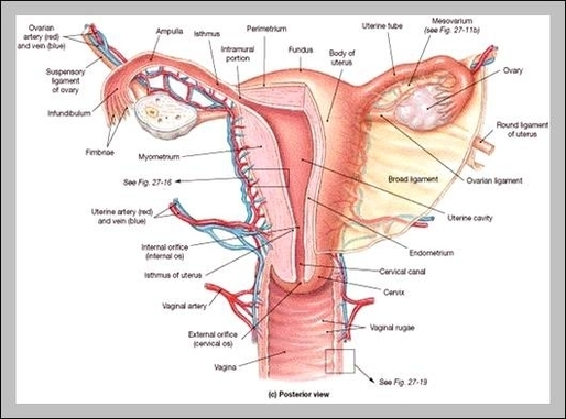 Female Reproductive Organs Diagram Graph Diagram
