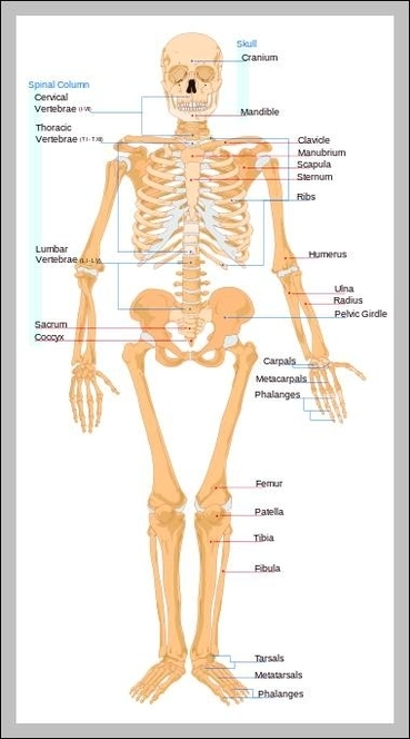 Female Anatomy Graph Diagram