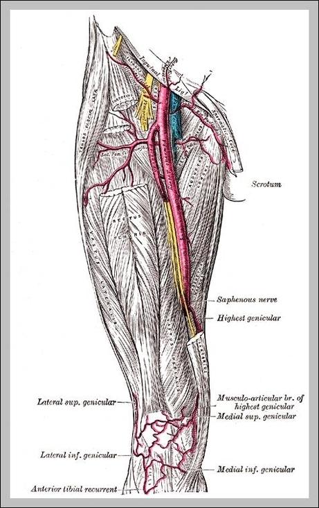 femoral artery anatomy | Graph Diagram