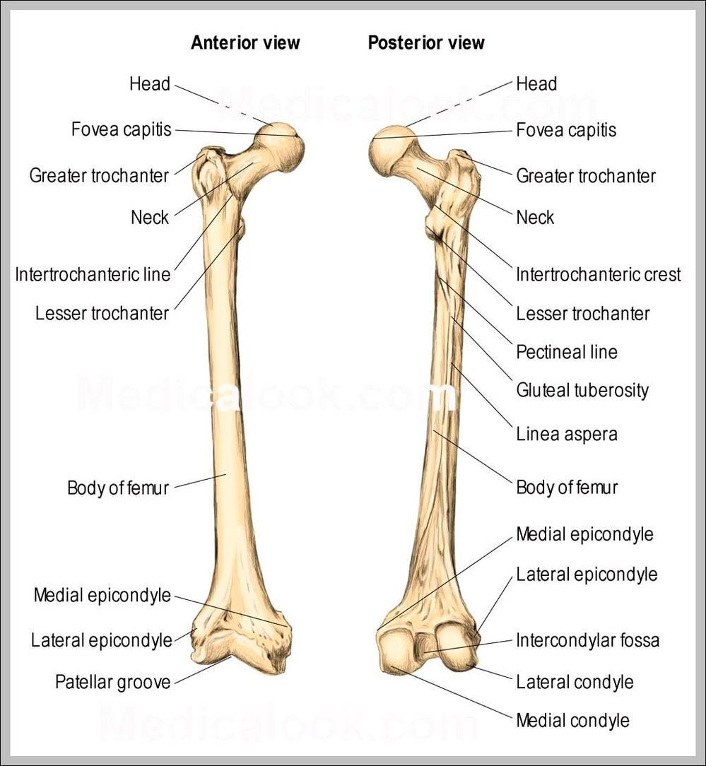 femur anatomy diagram | Graph Diagram
