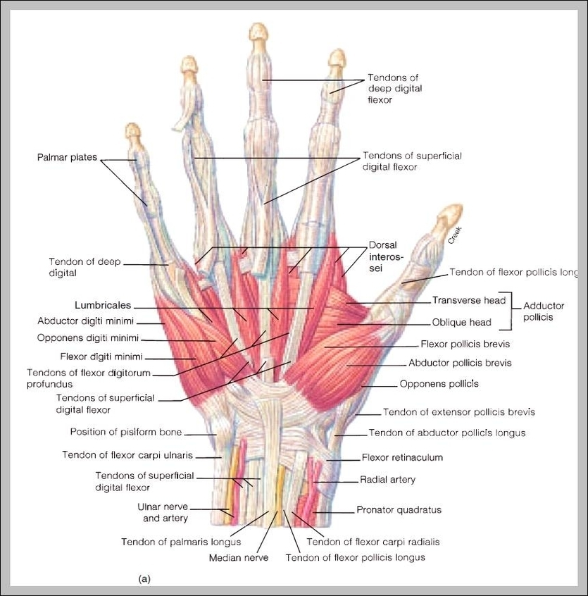 Finger Anatomy Graph Diagram