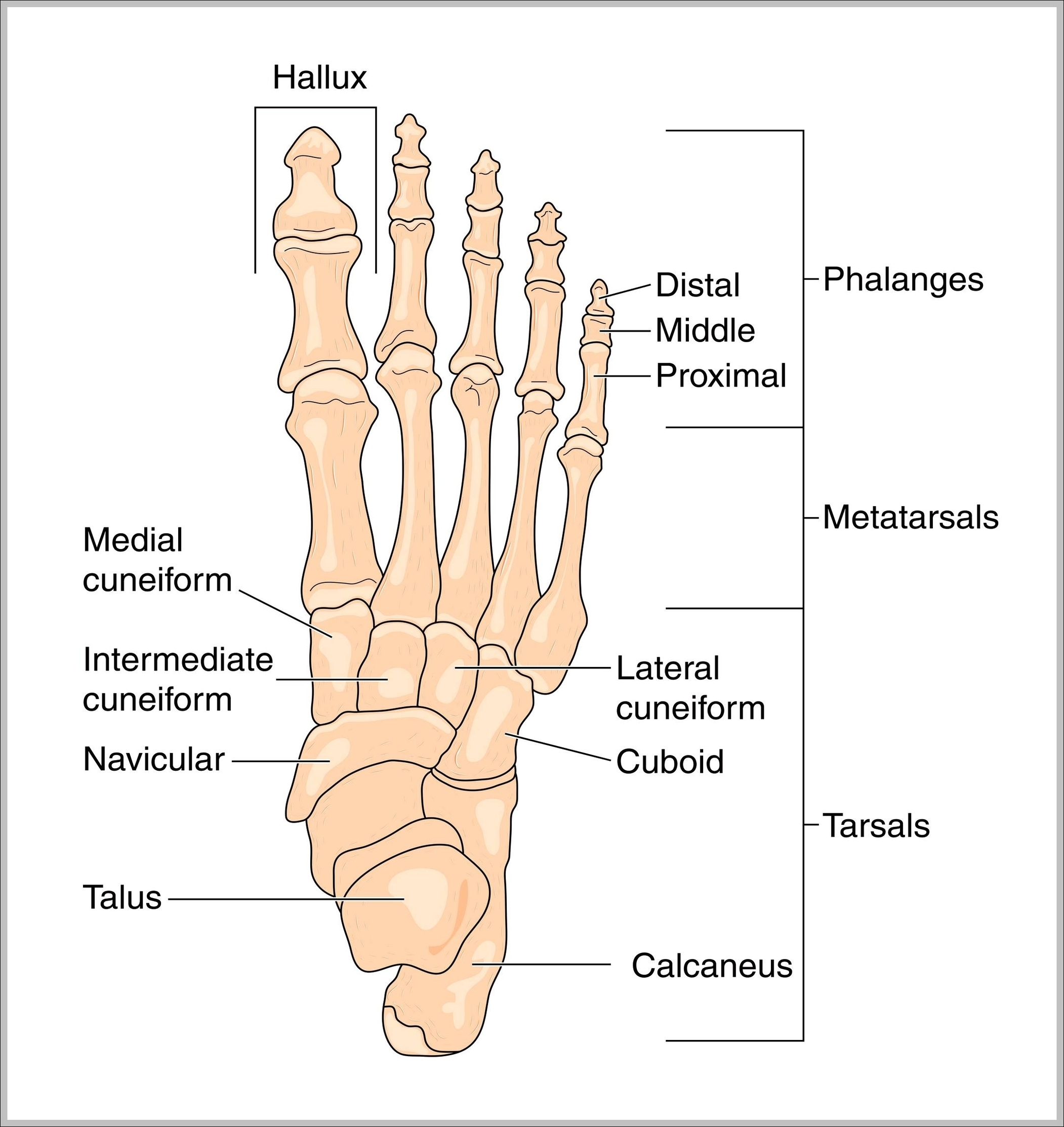 Foot Anatomy Bones Graph Diagram