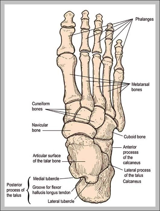 Foot Bones Anatomy Graph Diagram