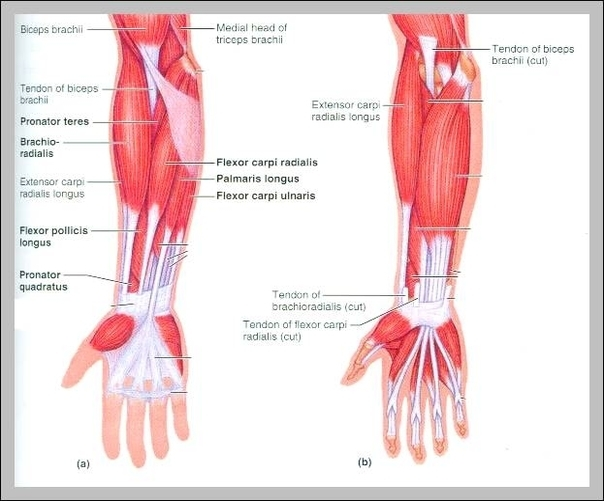 Forearm Supination Graph Diagram