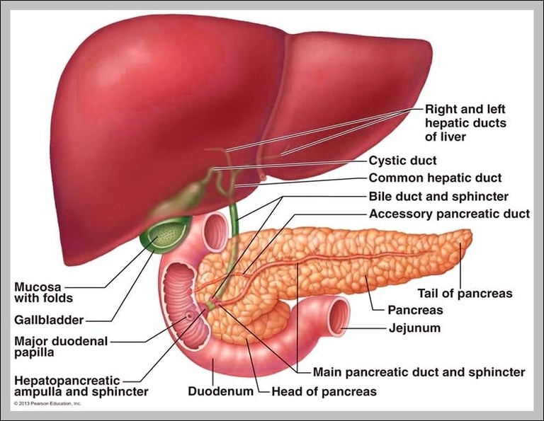 Function of liver in digestive system graph diagram function of liver in digestive system ccuart Images