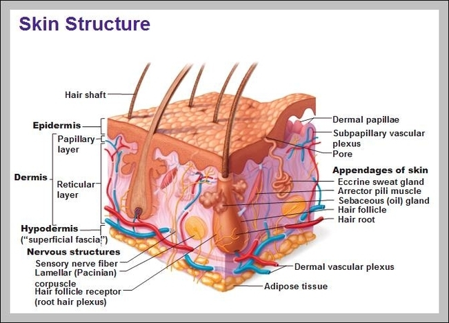 Function Of The Integumentary System Graph Diagram