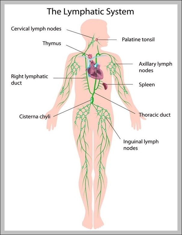 Function Of The Lymphatic System Graph Diagram