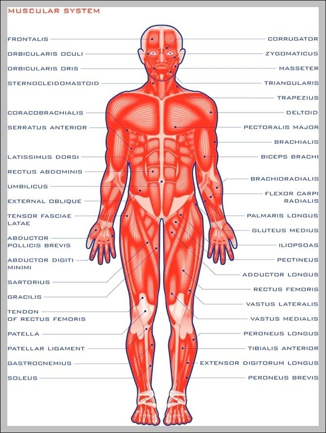 Function Of The Muscular System Graph Diagram