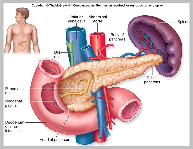 Function Of The Pancreas Graph Diagram