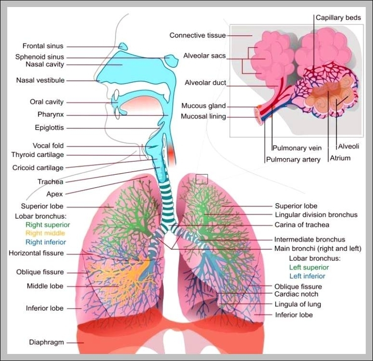 Function Of The Respiratory System Graph Diagram